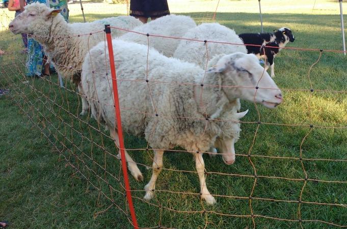 Les moutons du Parc Pélican lors de l'activité de lecture de contes de la bergère.